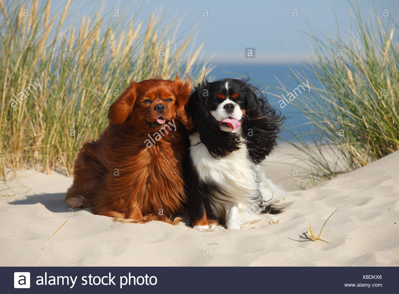 Cavalier King Charles Spaniels with tricolor and ruby colourations on beach, Texel, Netherlands - Stock Image