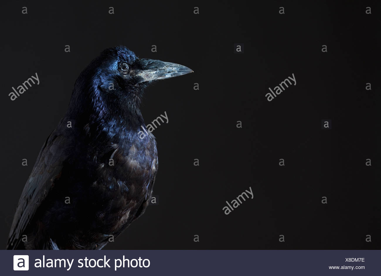 Close up of raven - Stock Image