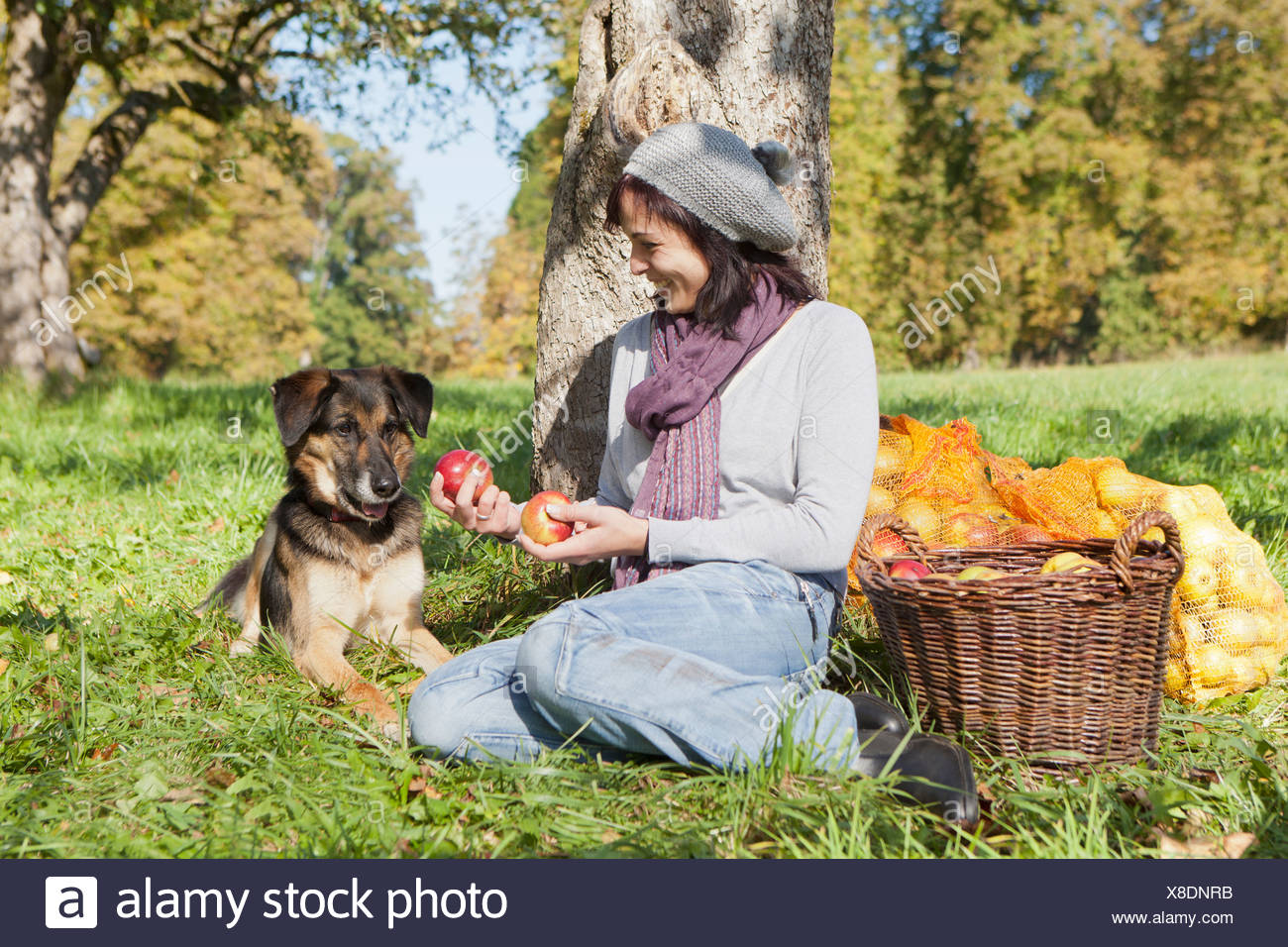 Woman picking apples with dog - Stock Image