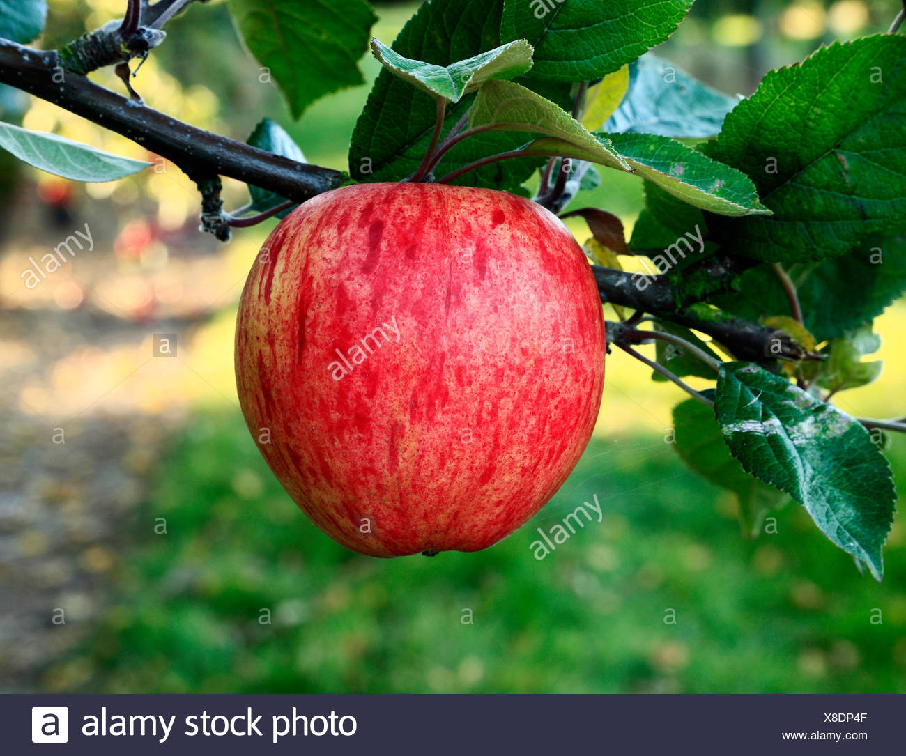 Apple 'Dr. Clifford', culinary variety, malus domestica, apples variety varieties growing on tree - Stock Image