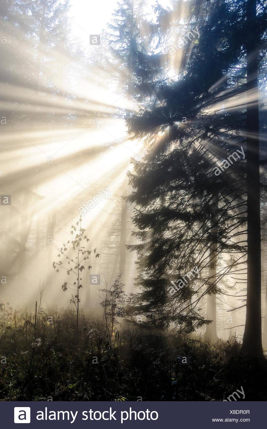 Sonnenstrahlen in Nadelwald, Herbststimmung, Nebel, Nationalpark Kalkalpen, Oberösterreich, Österreich - Stock Image