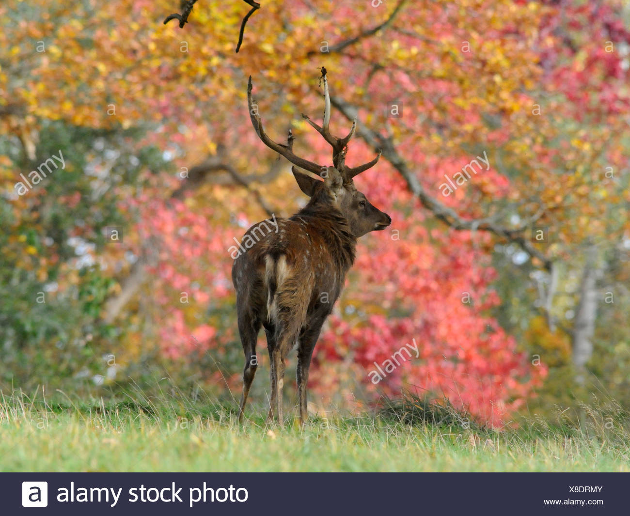 A young deer in amongst Autumn foliage. - Stock Image