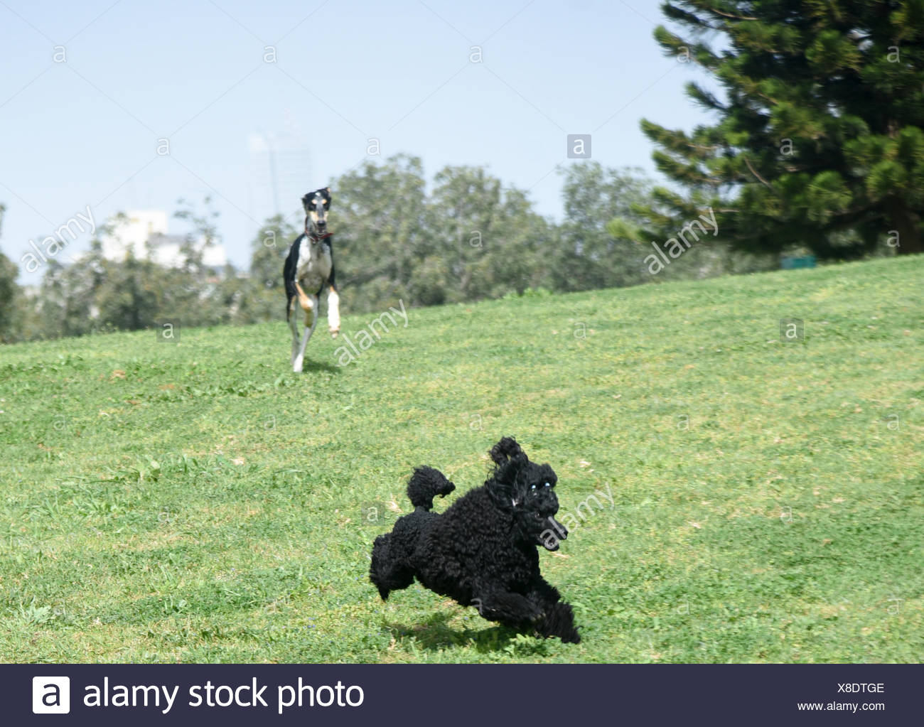 Playful Black Miniature Poodle and Saluki (Persian Greyhound) running and playing on the grass outside - Stock Image