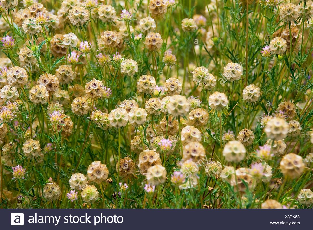 Scabiosa stellata, Starflower pincushions. Photo taken in Solsonès, Lleida, Spain, Europe Stock Photo