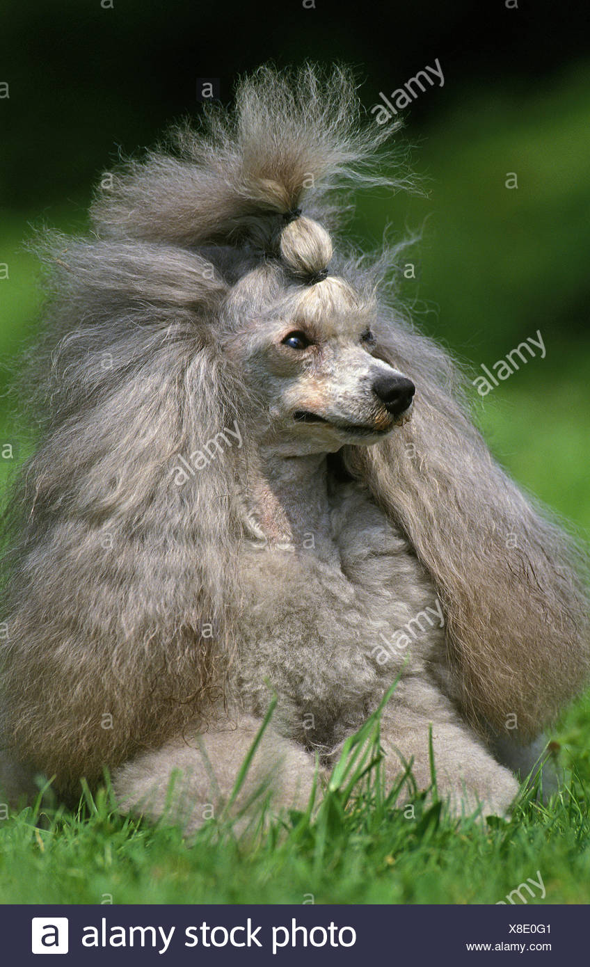 Grey Miniature Poodle, Adult laying on Grass - Stock Image