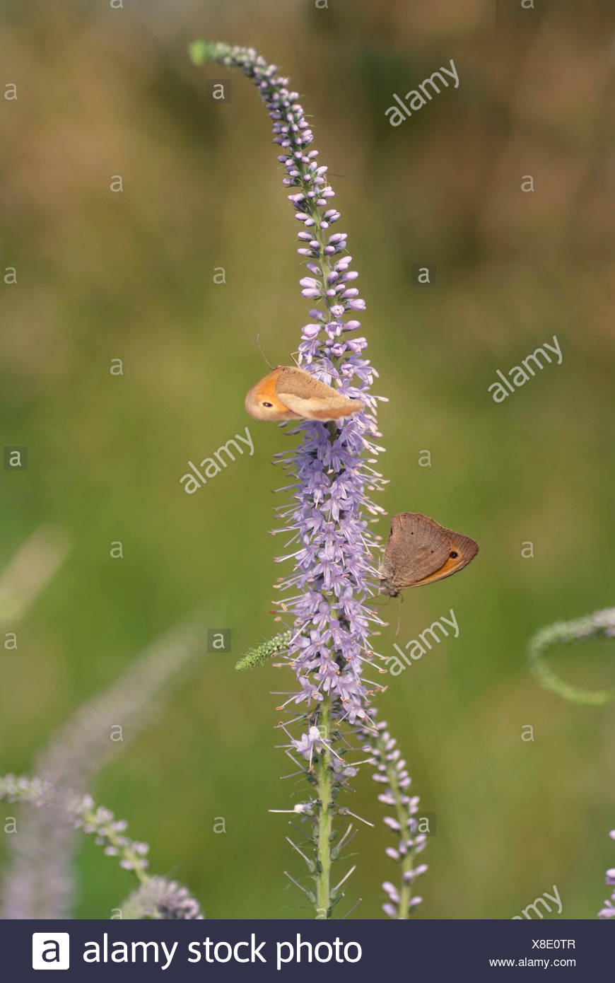 Long-leaved speedwell (Pseudolysimachion longifolium, Veronica longifolia), inflorescence with butterflies, Germany, Kühkopf - Stock Image