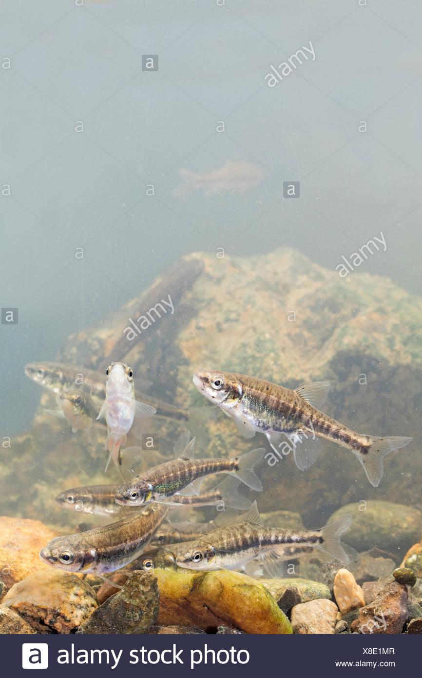 School of minnows swimming above a rocky bottom Stock Photo