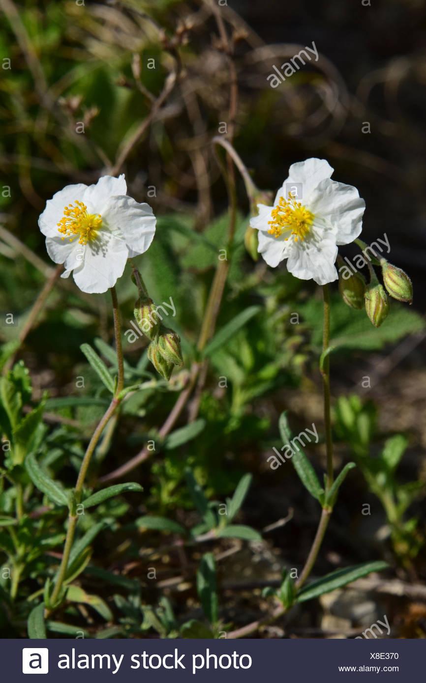 White Rock Rose Helianthemum Apenninum Flowers Stock Photo