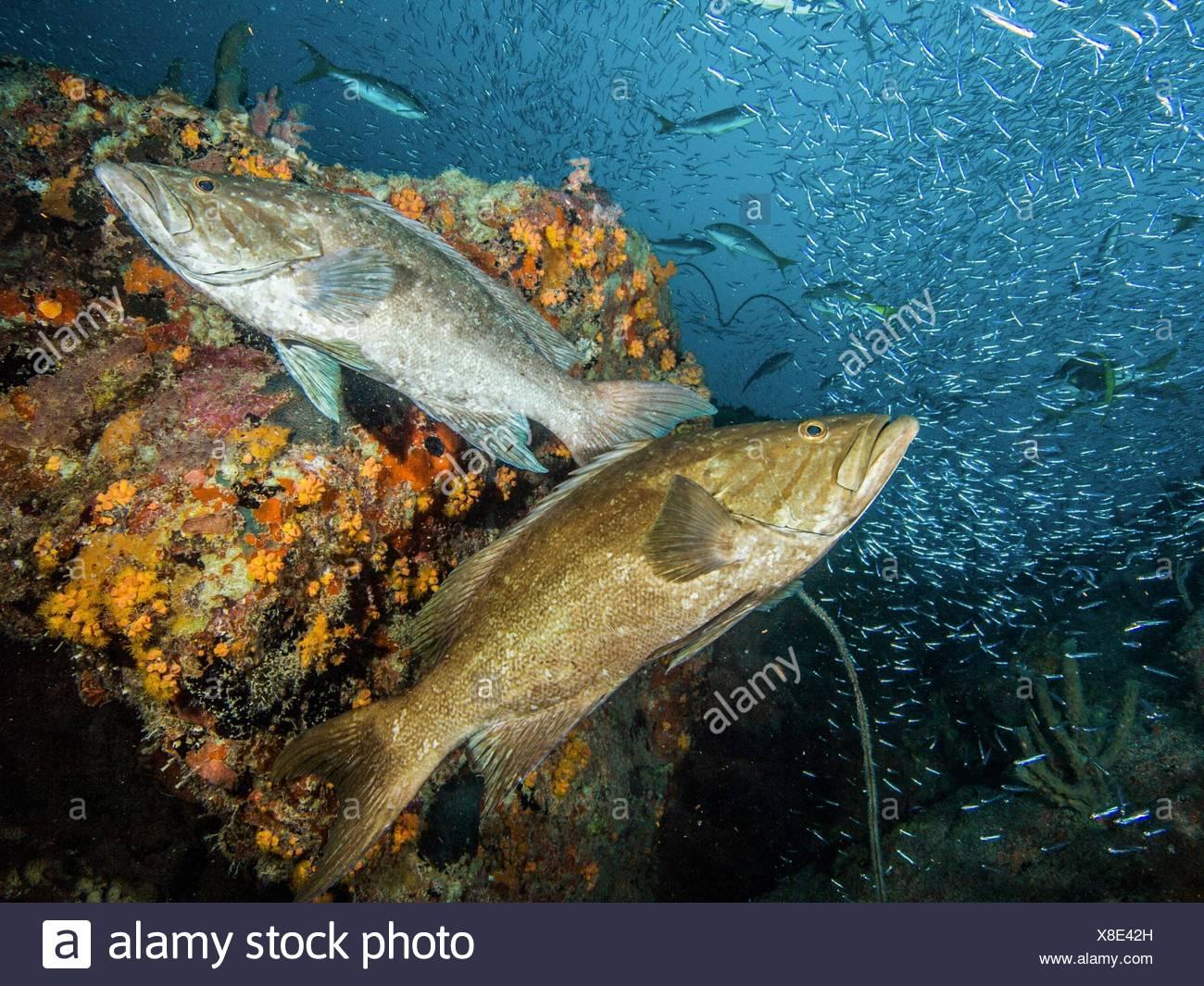 Feeding Aggregation Stage - 2 animals-Mycteroperca acutirostris- los roques venezuela - Stock Image