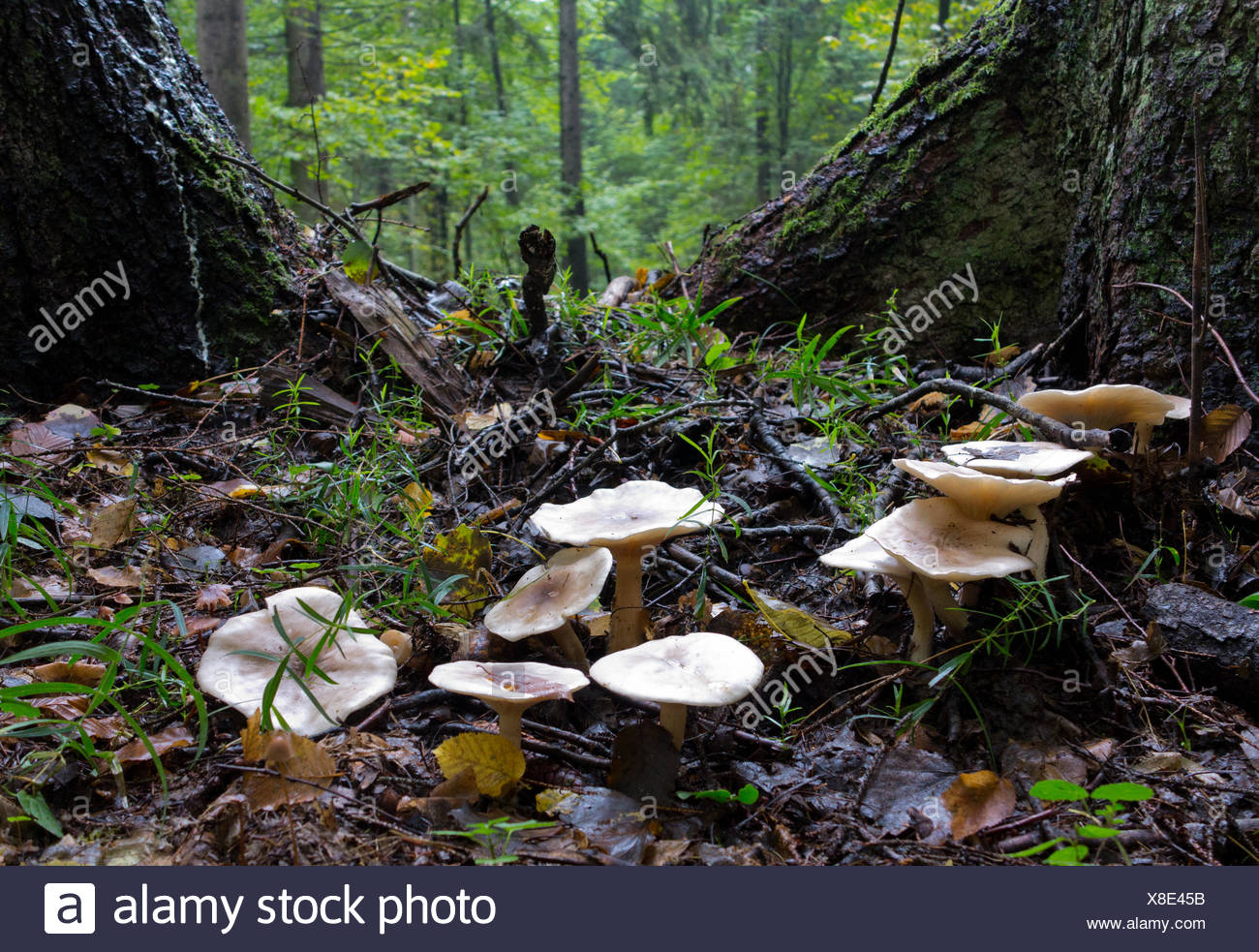 Group of fungus among two old spruces close up - Stock Image