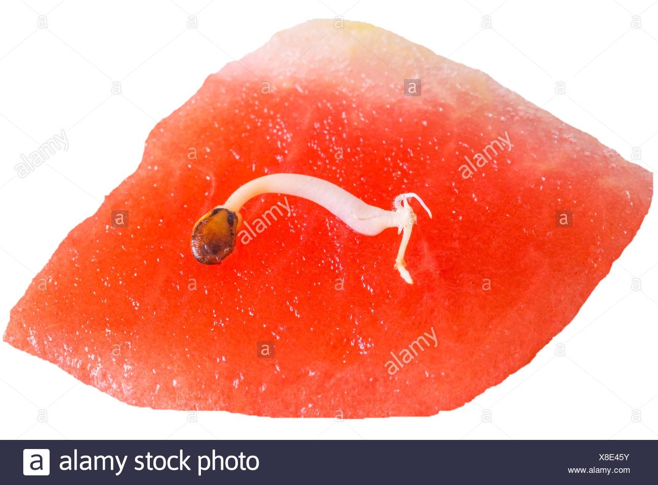germ of a watermelon. - Stock Image