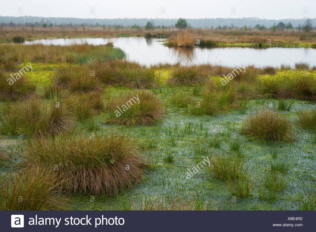 Peat Moss (Sphagnum sp.) and Soft Rush or Common Rush (Juncus effusus), Schweimker Moor Nature Reserve, Lower Saxony, Germany - Stock Image