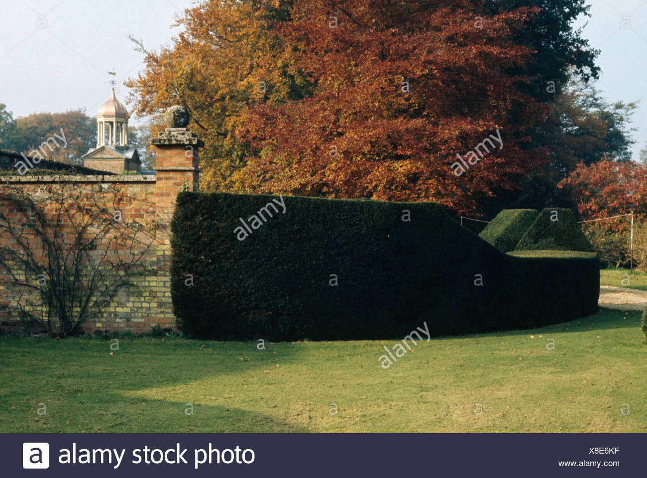 Newly clipped yew hedge and lawn in front of beech tree in large walled country garden in Autumn - Stock Image