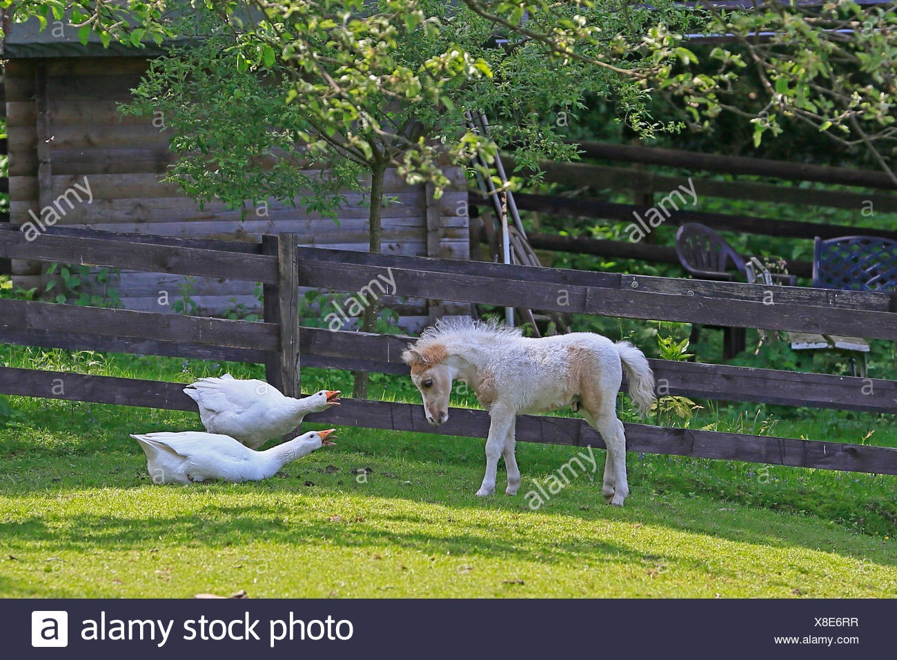 American Miniature Horse Foal at odds with geese, Germany - Stock Image