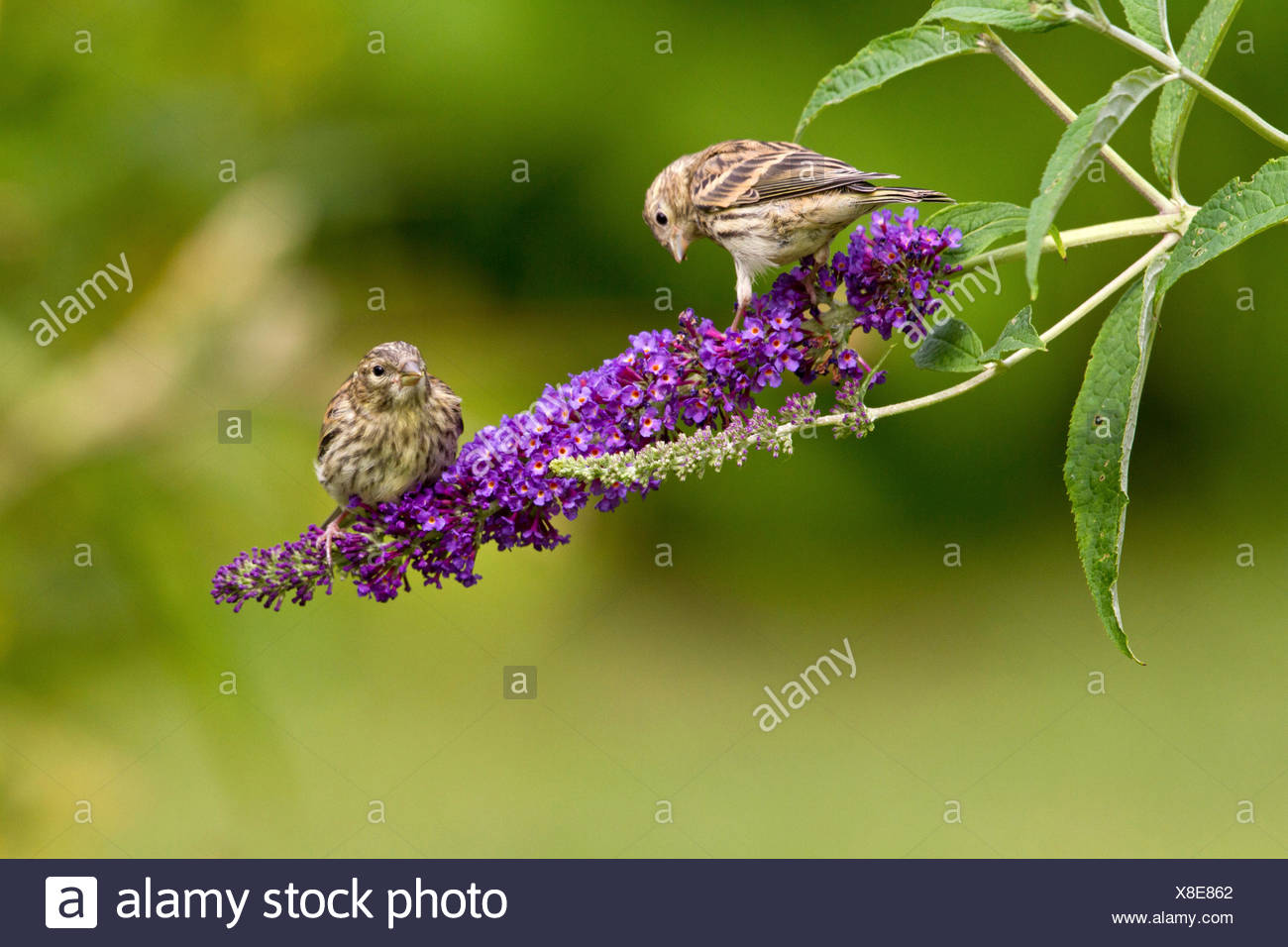 European serin (Serinus serinus), two young birds sitting on a blooming twig of a summer lilac, Germany - Stock Image