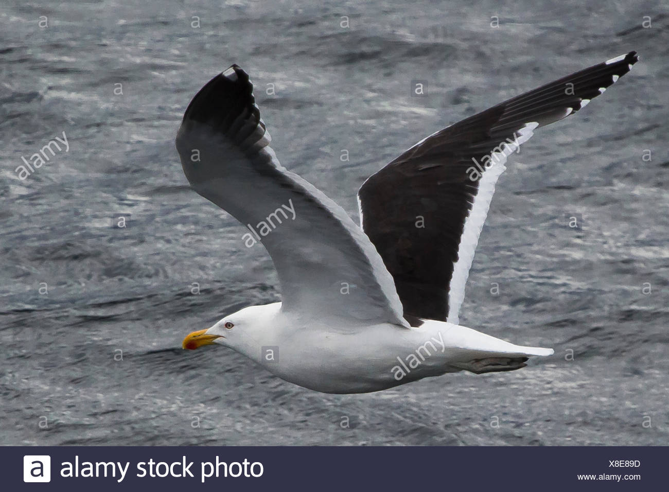 Portrait of a kelp gull, Larus dominicanus, in flight over the Beagle Channel. - Stock Image