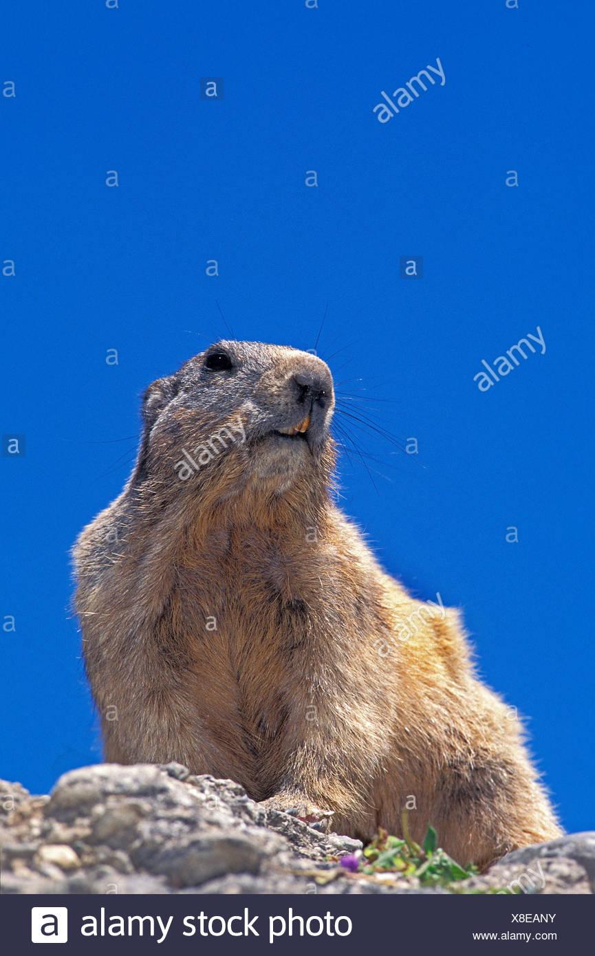 Alpine Marmot, marmota marmota, Adult on Rocks, French Alps Stock