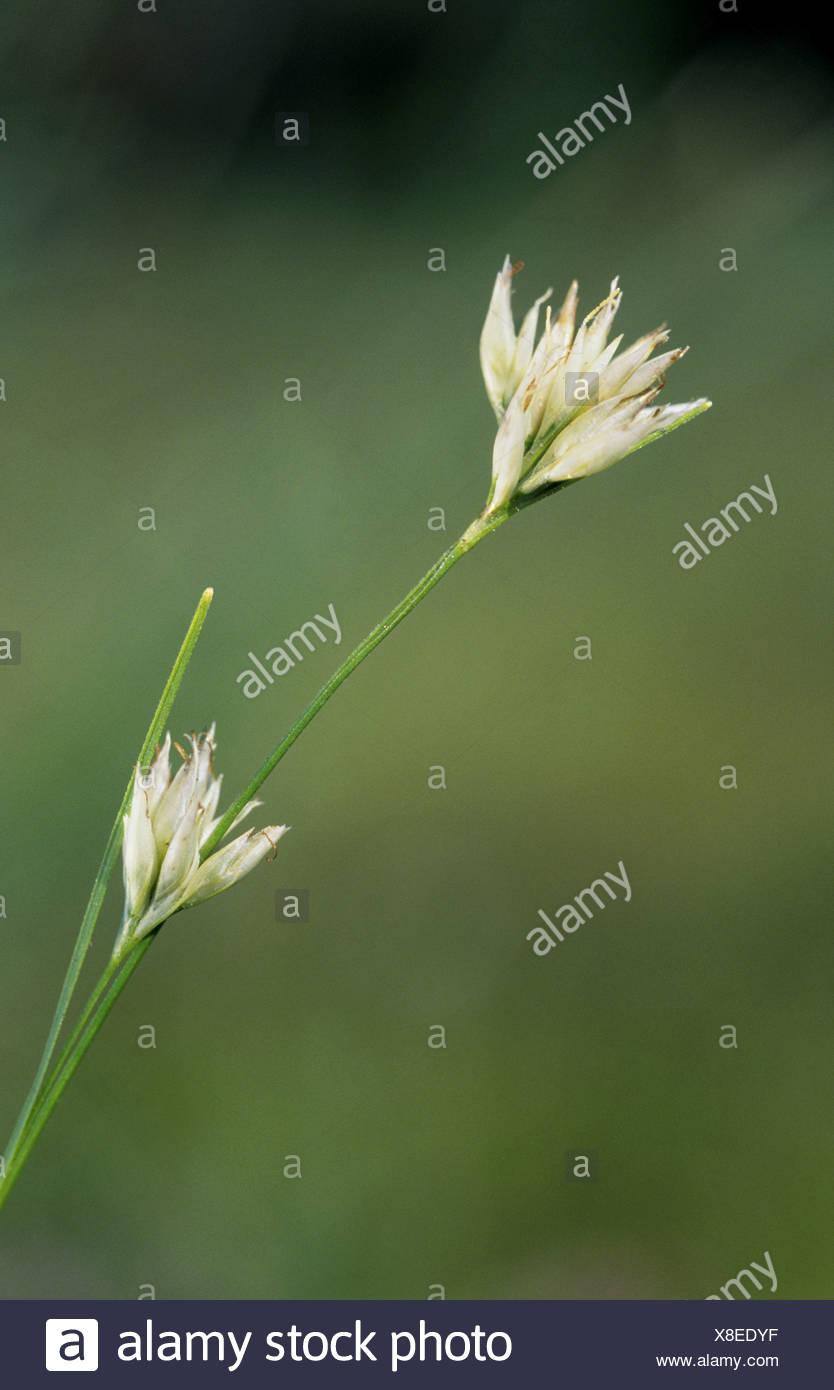 WHITE BEAK-SEDGE Rhynchospora alba (Cyperaceae) Stock Photo