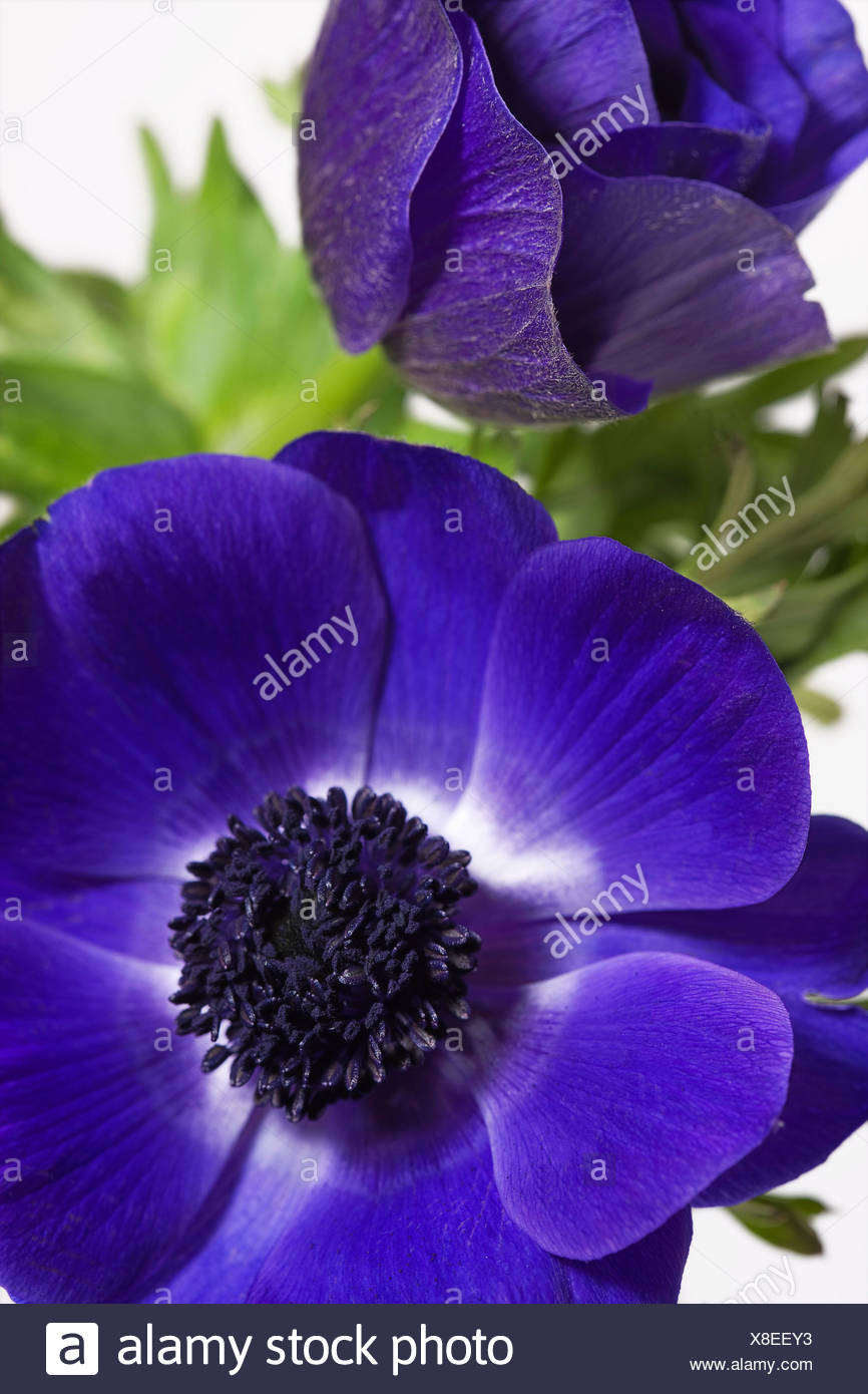 Anemone Anemone coronaria Arrange Arrangement Beauty Blue Bloom Blooming Close up Colour Flower Flowers Two - Stock Image