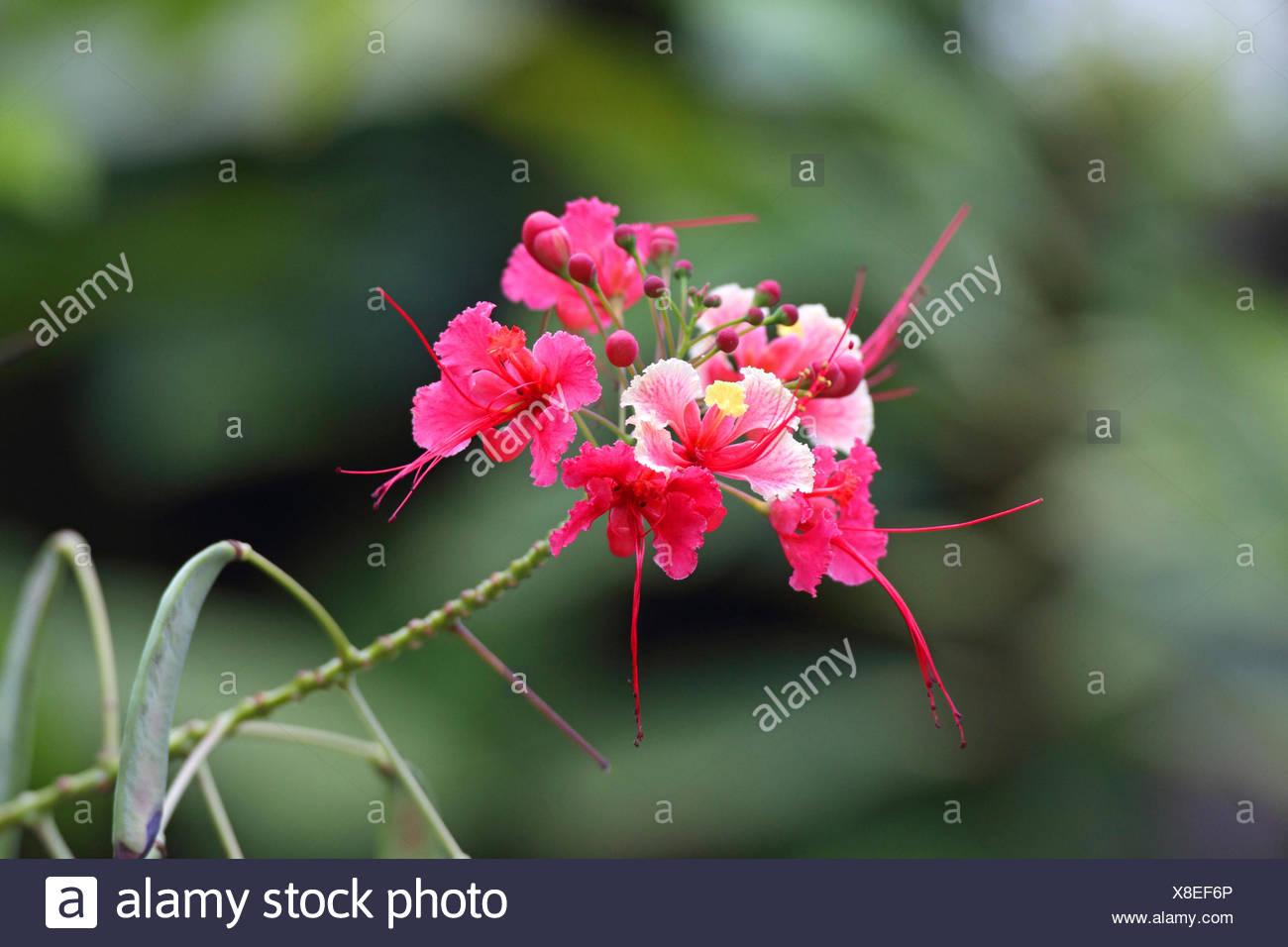 peacock flower, Barbados pride, dwarf poinciana, Barbados flower-fence, red bird-of-paradise, red bird of paradise (Caesalpinia pulcherrima 'Rosea', Caesalpinia pulcherrima Rosea), inflorescence, Seychelles, Mahe - Stock Image