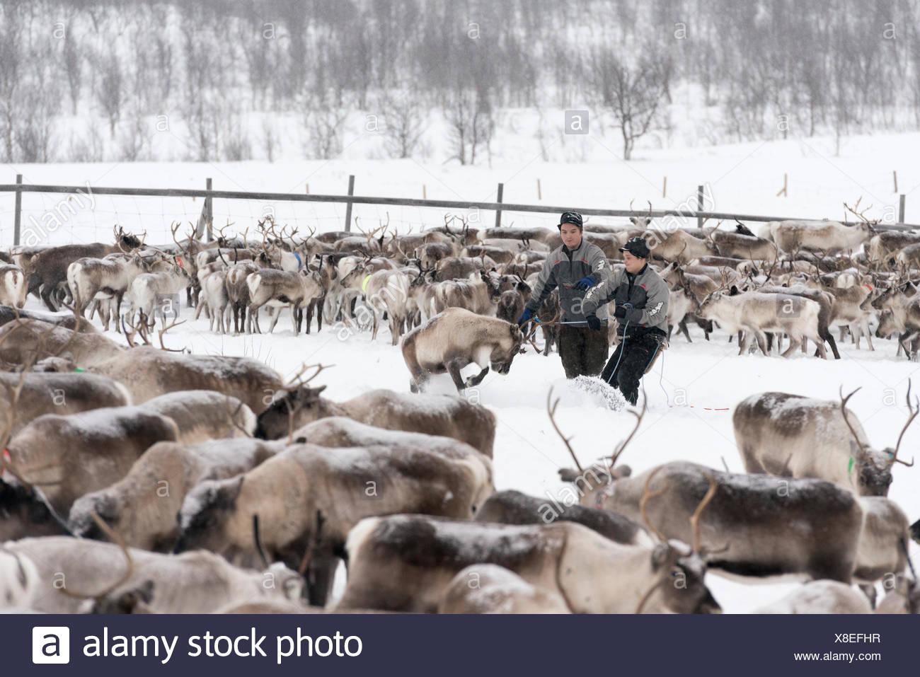 Sami reindeer herders mark calves in winter. - Stock Image