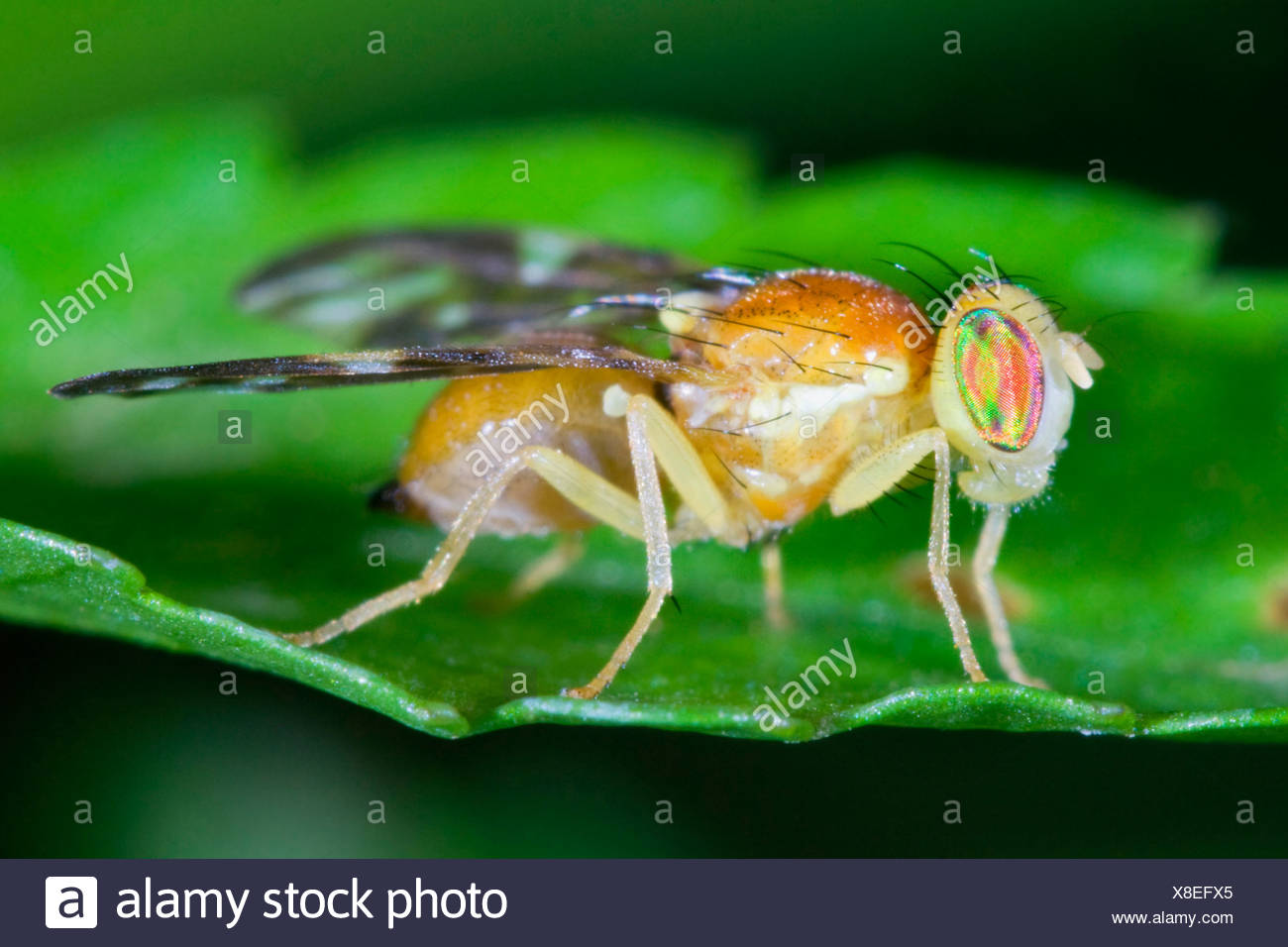 Compound Eye Of Fruit Fly Stock Photos & Compound Eye Of Fruit Fly ...
