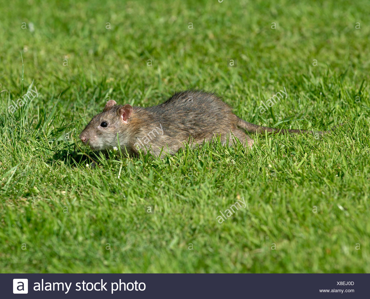 Adult brown rat scurrying across a lawn near to a bird feeder - Stock Image