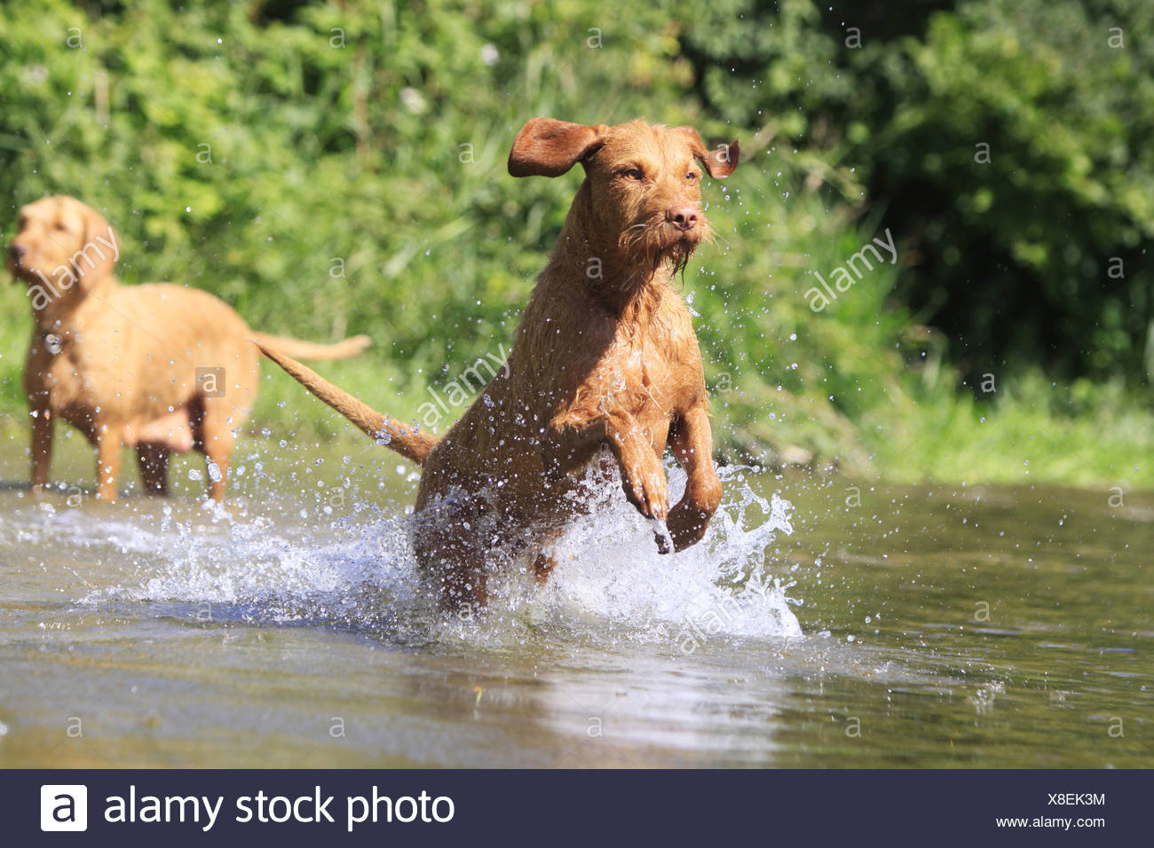Wirehaired Magyar Vizsla dog - running in snow - Stock Image