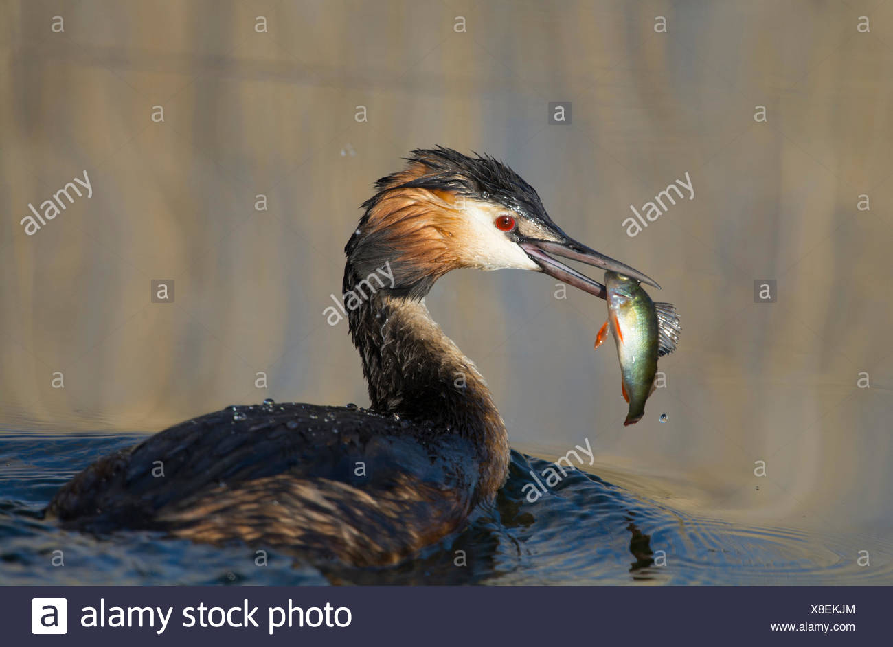 Great Crested Grebe with seized fish (Podiceps cristatus) - Stock Image