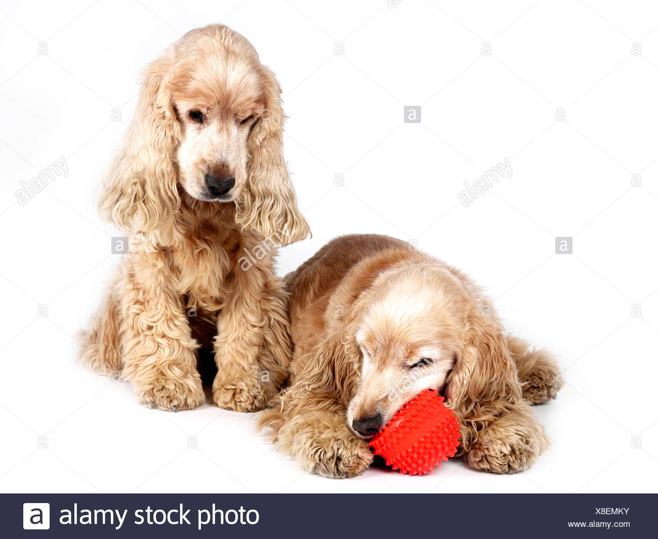 Two cocker spaniels with a ball, one happy one sad. - Stock Image
