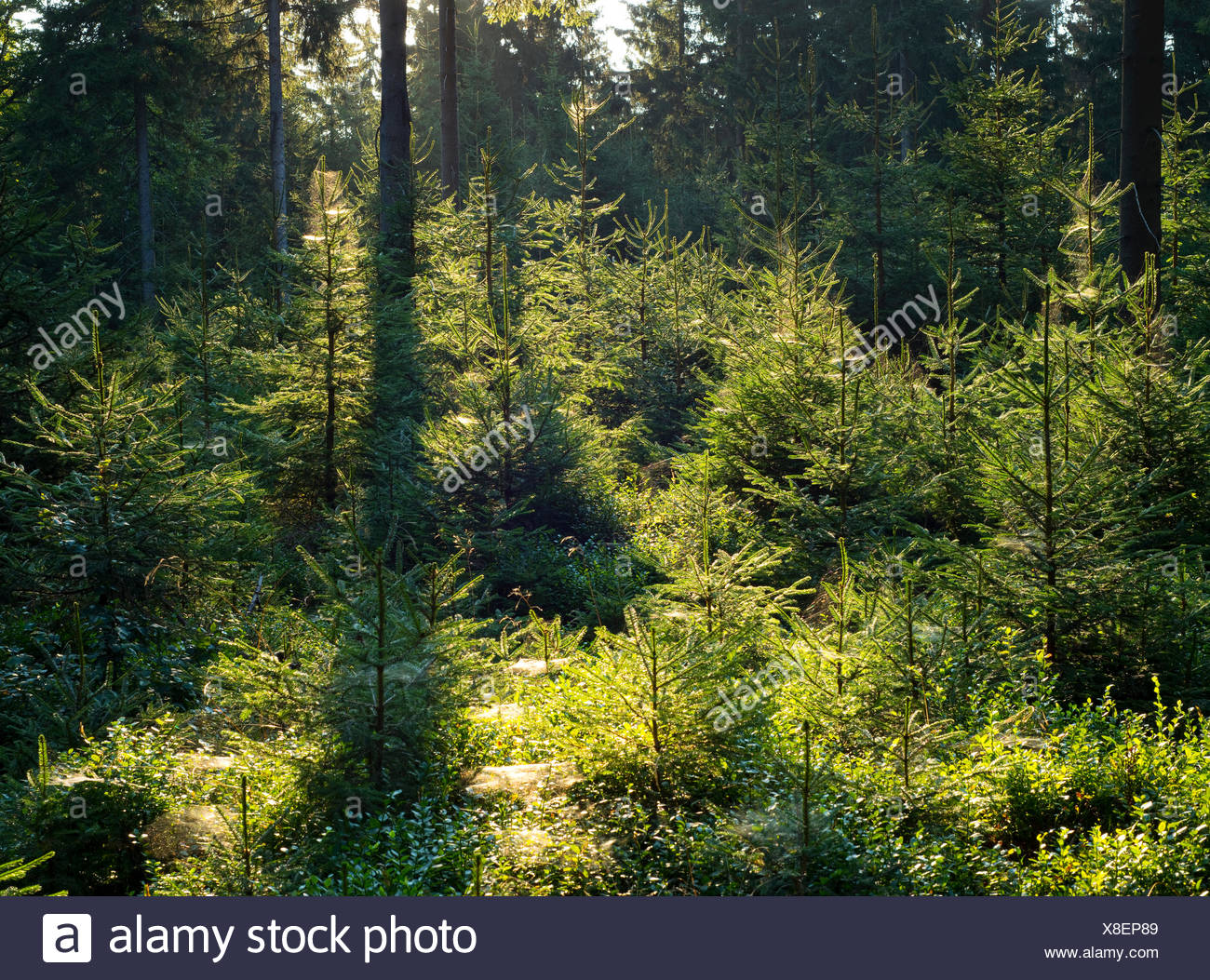 Spruce forest, Norway spruce (Picea abies), backlit, Thuringian Forest, Thuringia, Germany - Stock Image