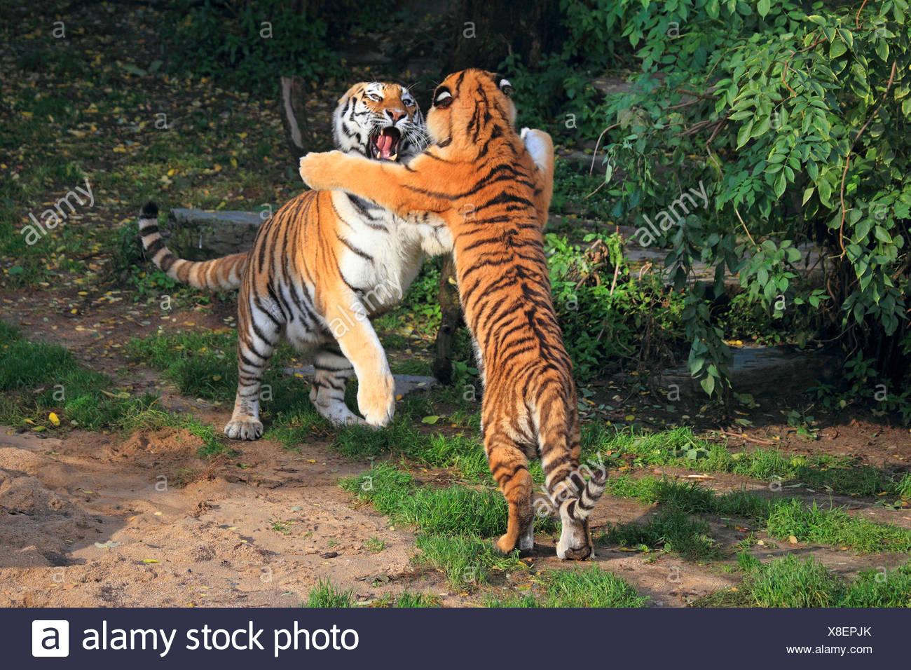 Siberian tiger, Amurian tiger (Panthera tigris altaica), two tussling tigers - Stock Image
