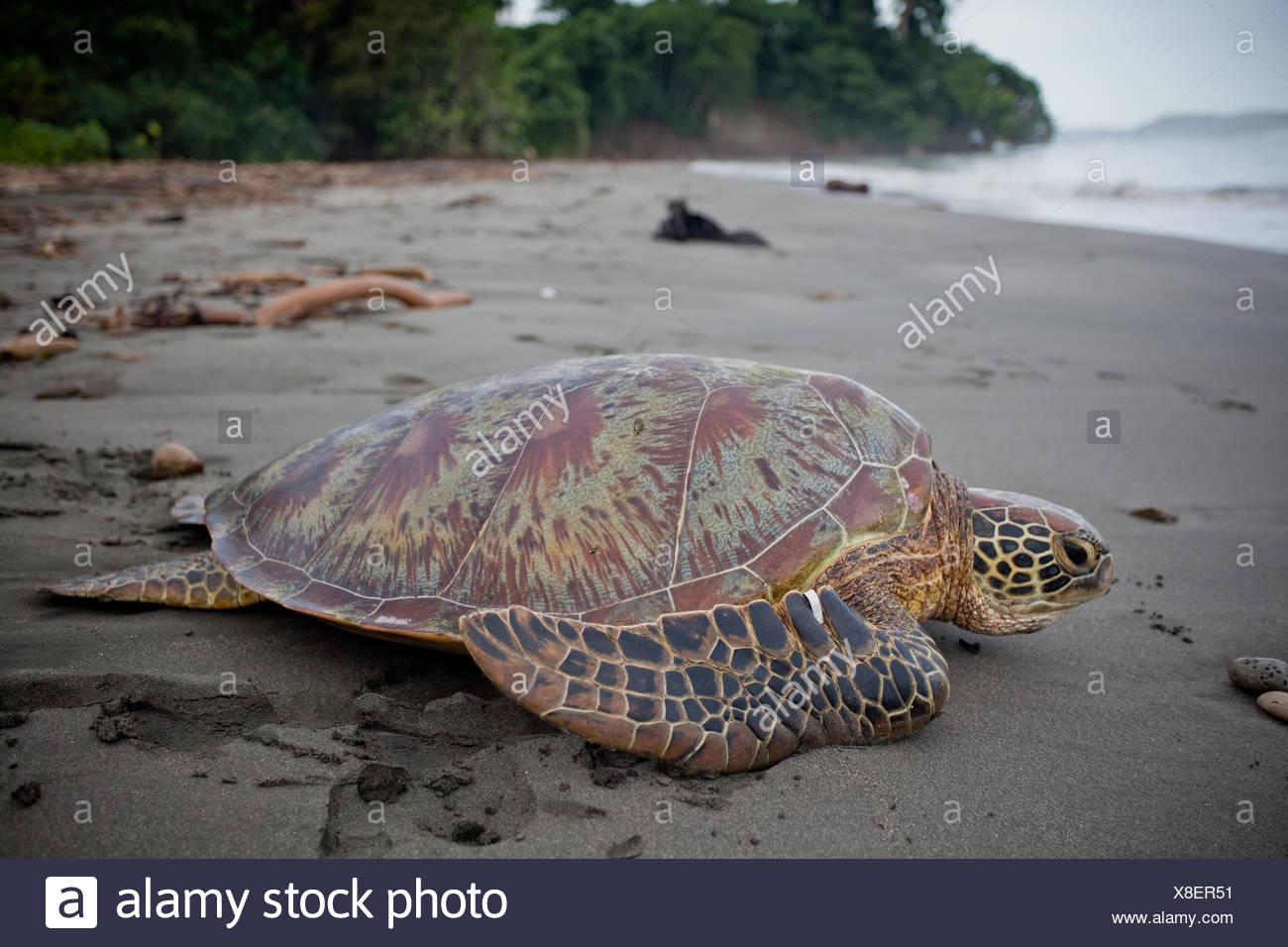 A tagged green sea turtle makes its way to the sea. Stock Photo