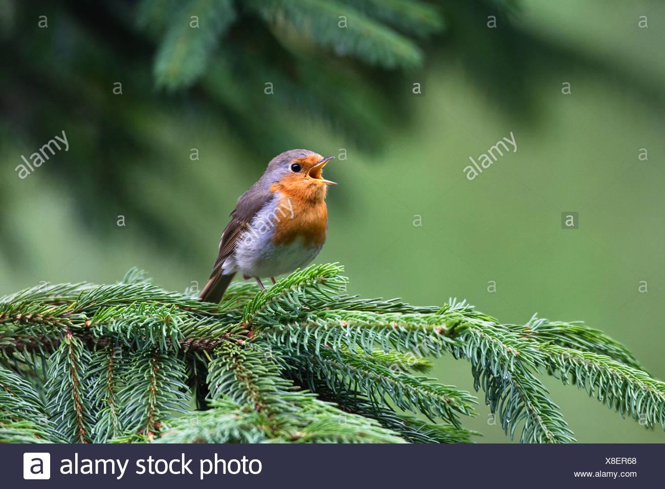 European robin (Erithacus rubecula) singing, Bavaria, Germany, Europe - Stock Image