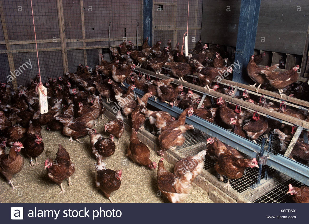Isa Brown chickens in experimental tiered perchery Nottinghamshire Stock Photo