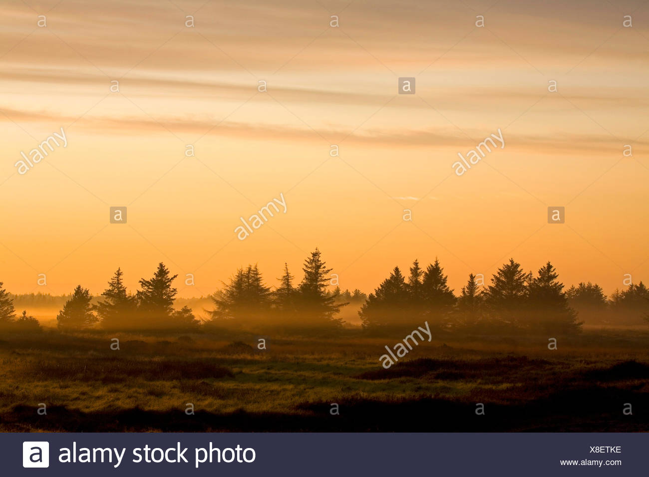 Norway spruce (Picea abies), Norway spruces in morning light, Denmark, Midtjylland, Jylland - Stock Image