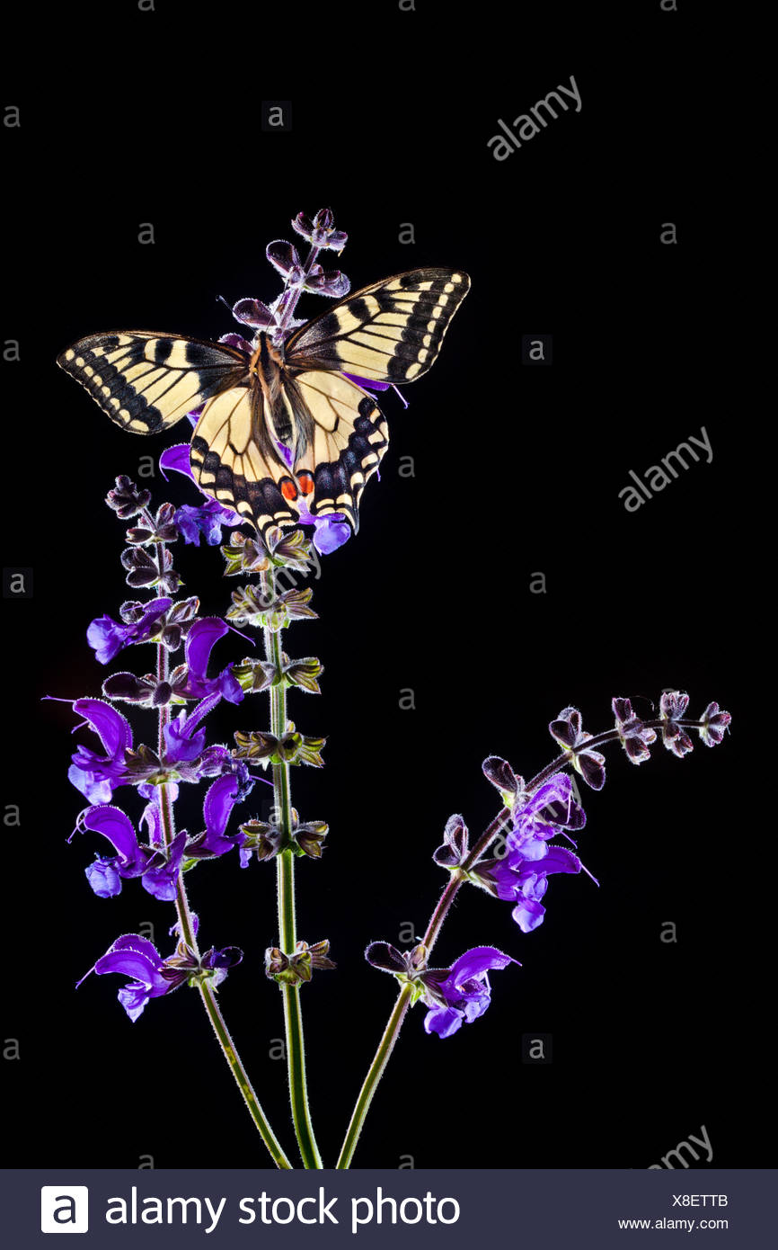 Common Swallowtail butterfly feeding on Meadow Clary flowers, backlit. Nordtirol, Tirol, Austrian Alps, 1700 metres altitude - Stock Image