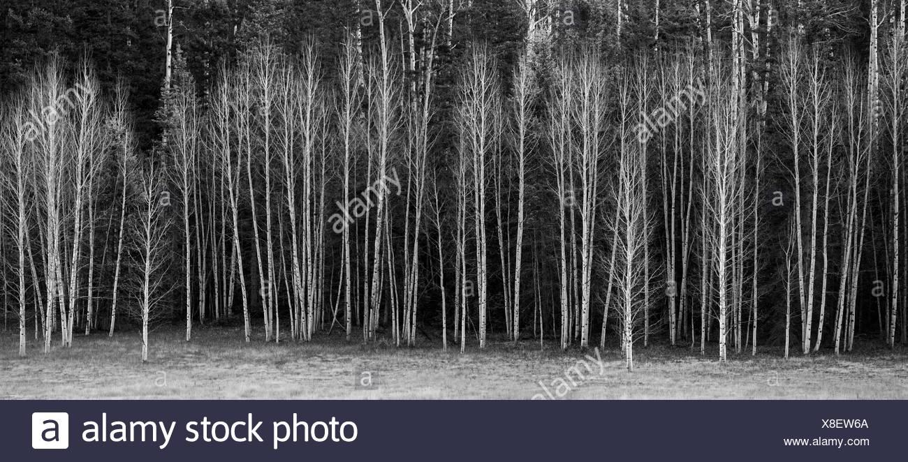 Leaveless Aspen Trees at Kaibab National Forest, Arizona. Stock Photo