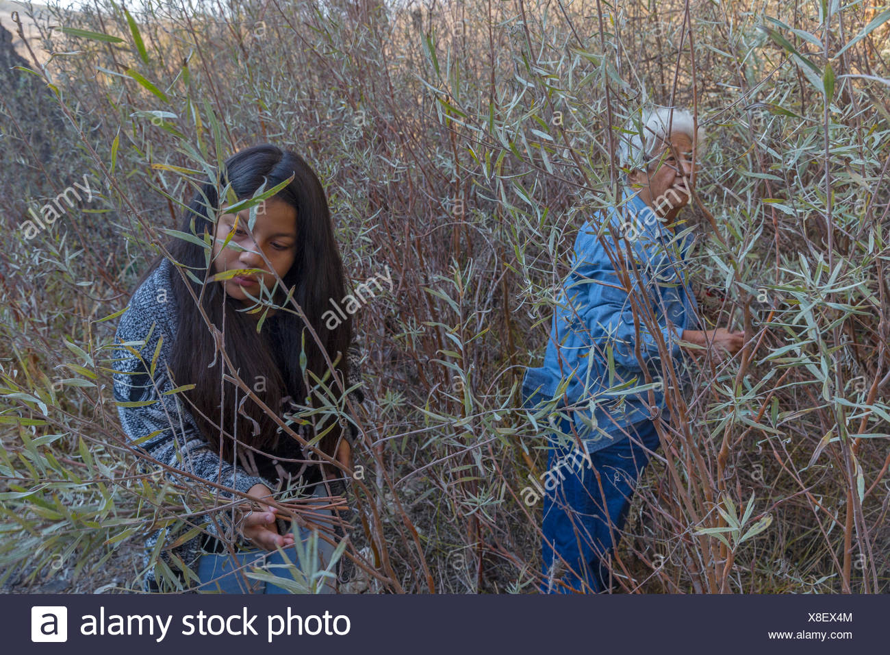 two female members of Federated Indians of Graton Rancheria collect gray willow for basket making at Tolay Creek,California,USA - Stock Image
