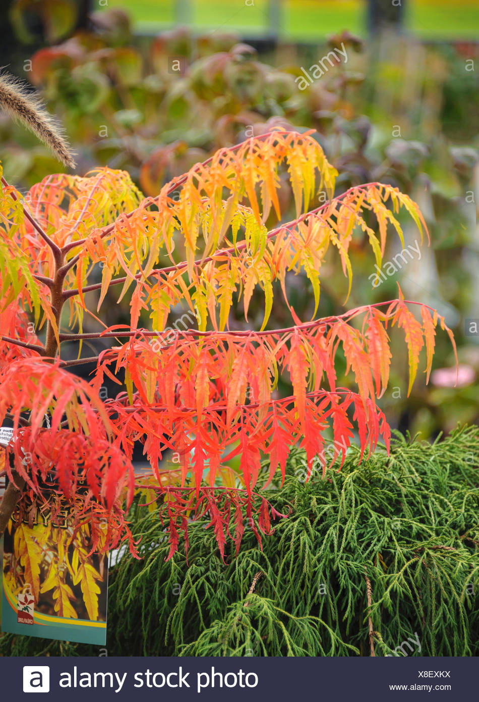 staghorn sumach, stag's horn sumach (Rhus typhina 'Tiger Eyes', Rhus typhina Tiger Eyes, Rhus hirta), cultivar Tiger Eyes - Stock Image
