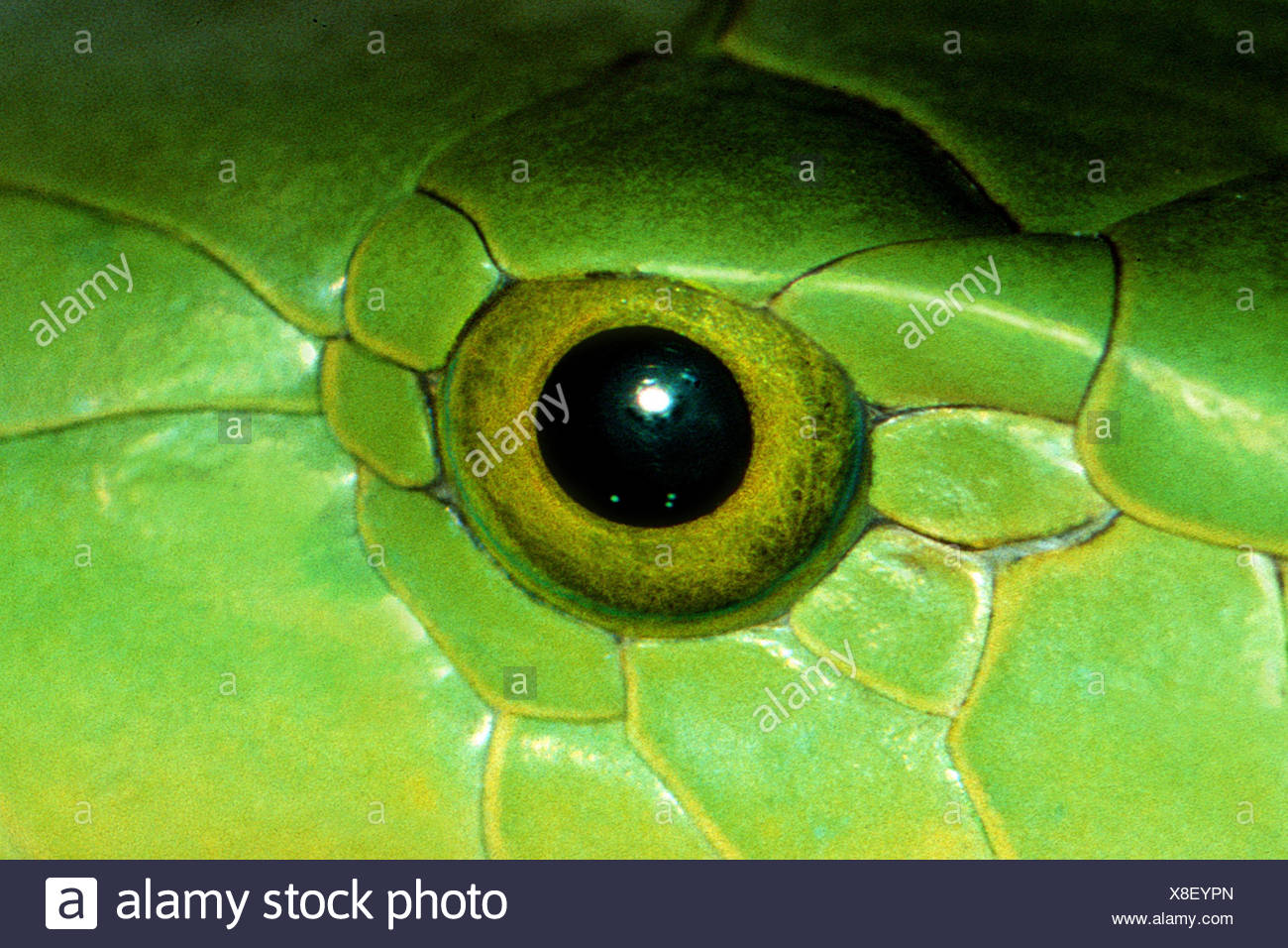 snake eye - Stock Image