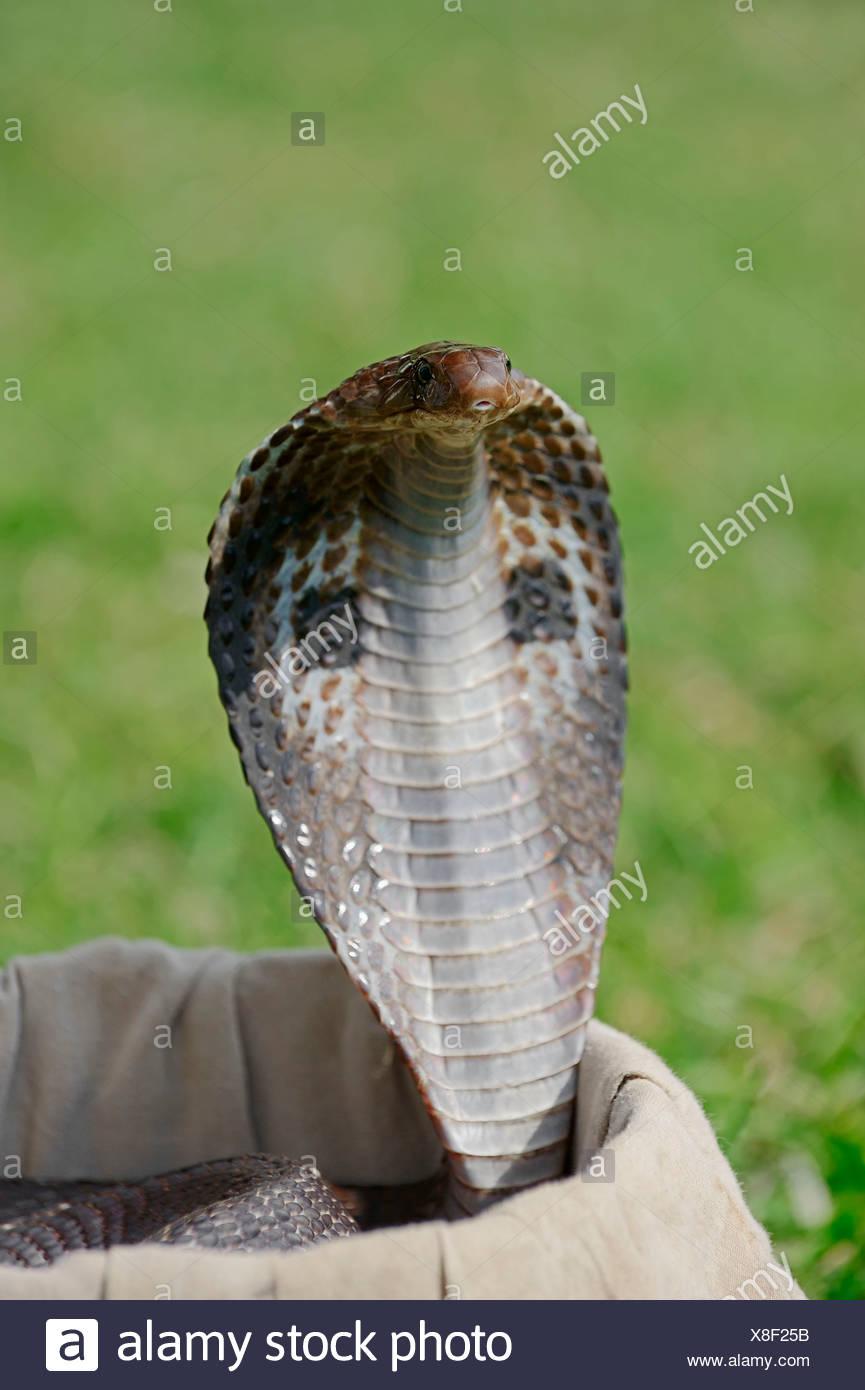 Spectacled Cobra in basket of snake charmer, New Delhi, India / (Naja naja) / Indian Cobra, Common Cobra, Asian Cobra, New Dehli - Stock Image