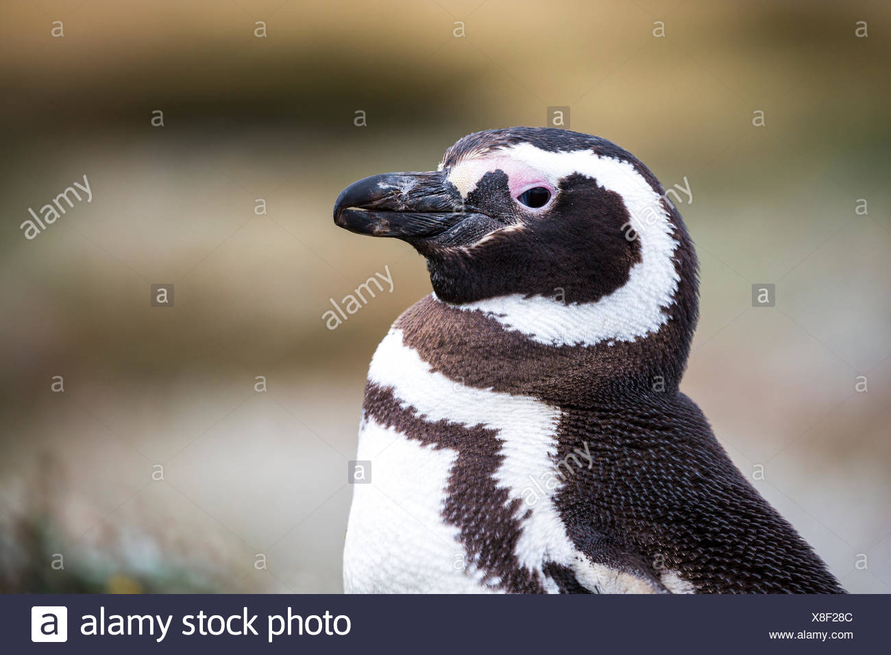 Magellanic penguin (Spheniscus magellanicus), Seno Otway, Region XII Región de Magallanes y de la Antártica, Chilena - Stock Image