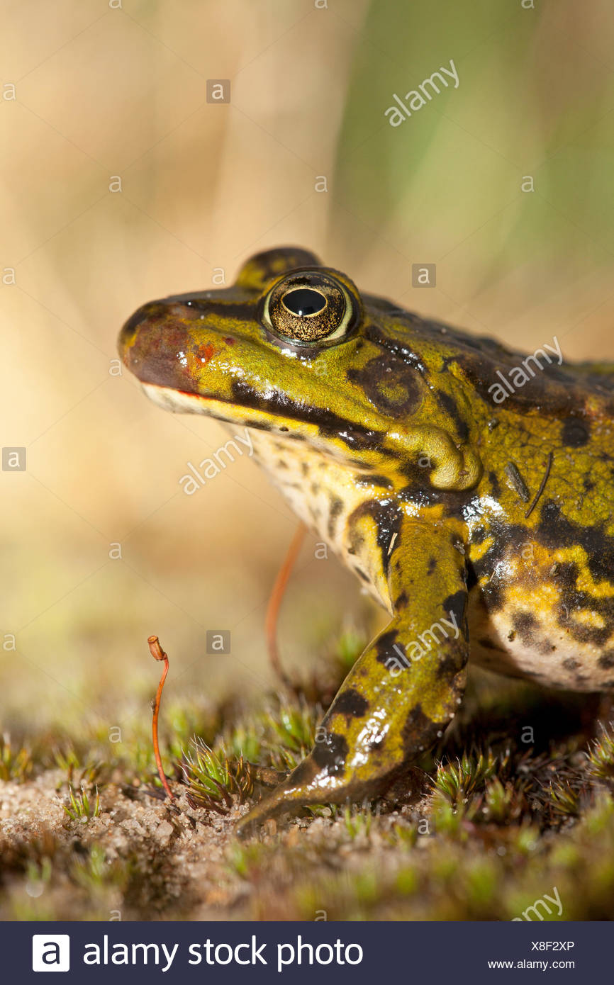 photo of a green frog with ranavirus - Stock Image