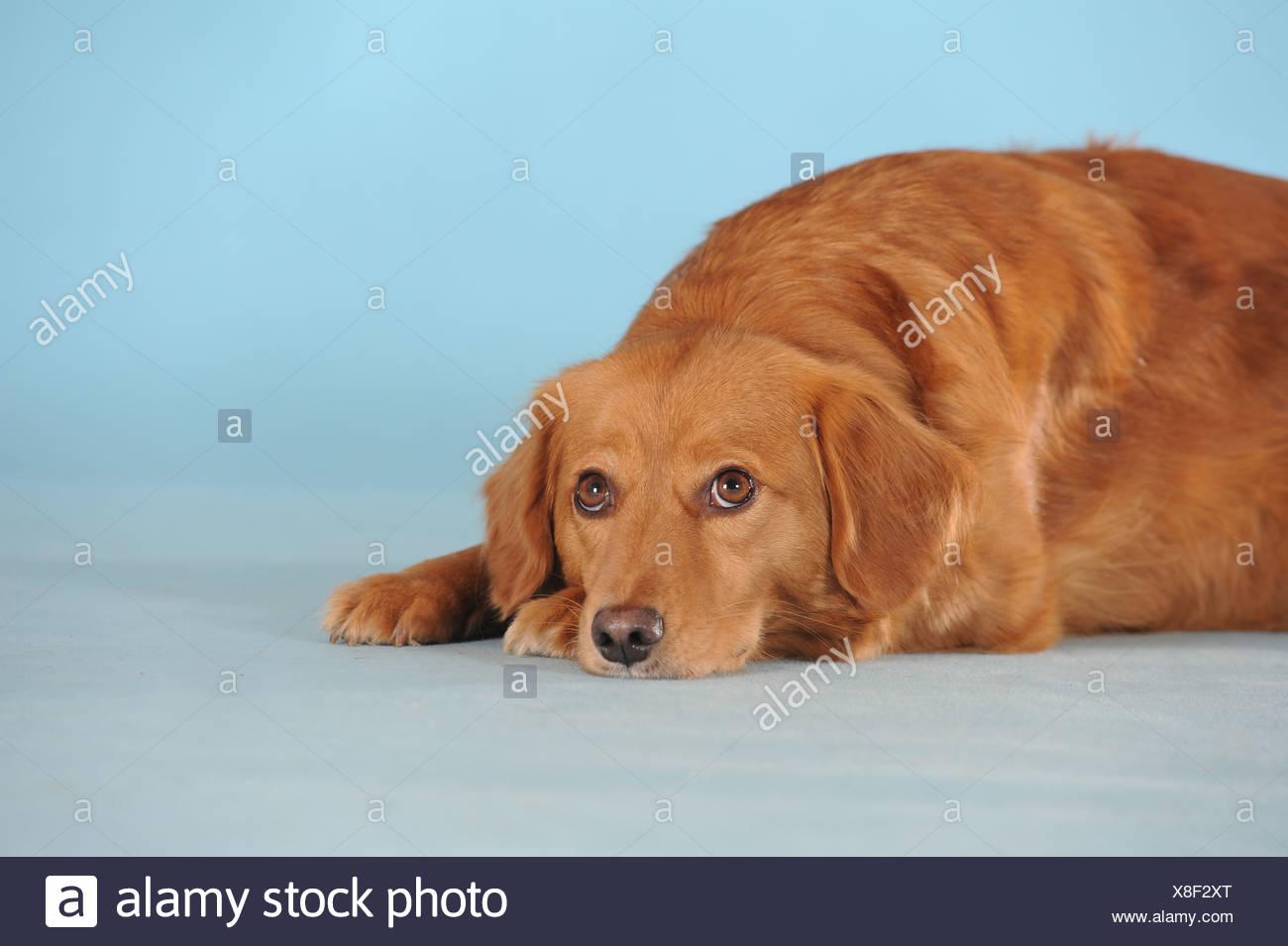 adf3bcae4a42f Dog Head On Paws Stock Photos   Dog Head On Paws Stock Images - Alamy
