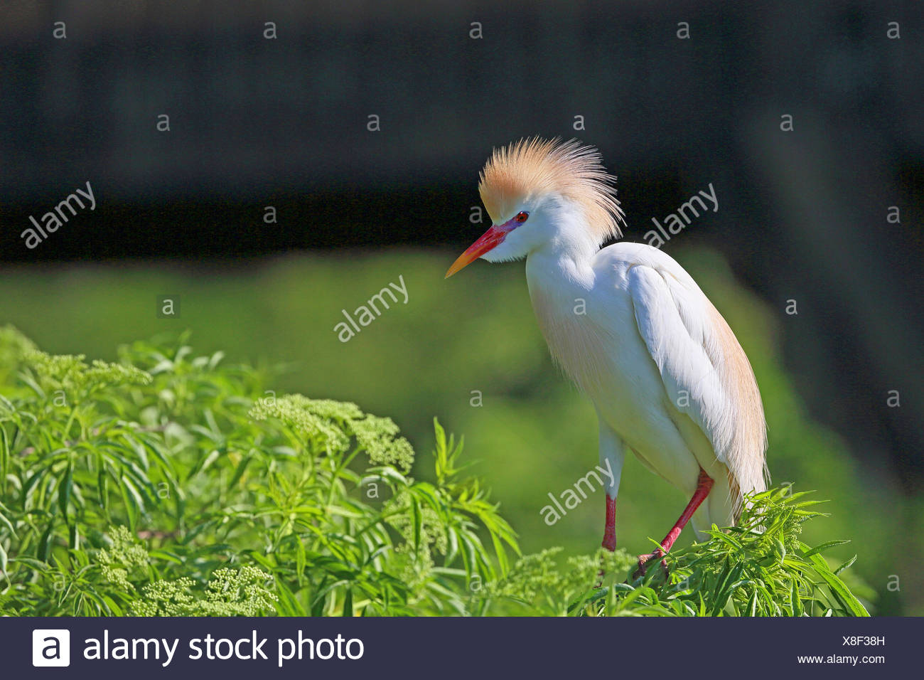 cattle egret, buff-backed heron (Ardeola ibis, Bubulcus ibis), stands on a shrub, breeding plumage, USA, Florida, Gatorland - Stock Image
