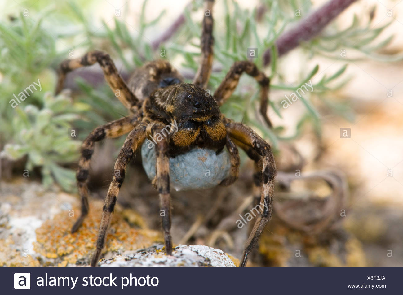 European tarantula (Lycosa sp.)  with cocoon, Dobruja, Romania - Stock Image