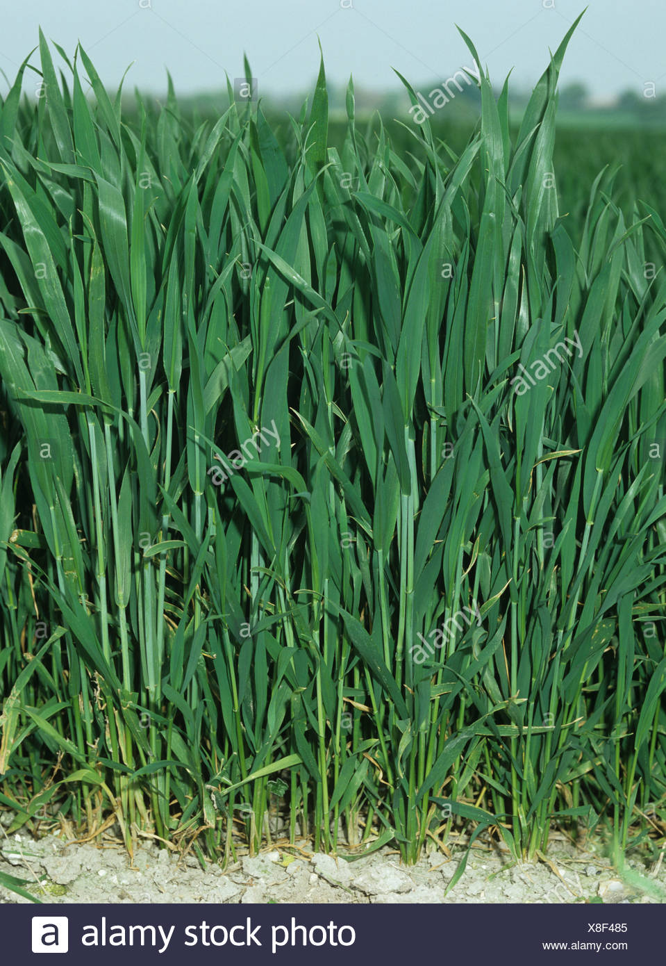 Wheat plants in a crop at growth stage 35 37 - Stock Image