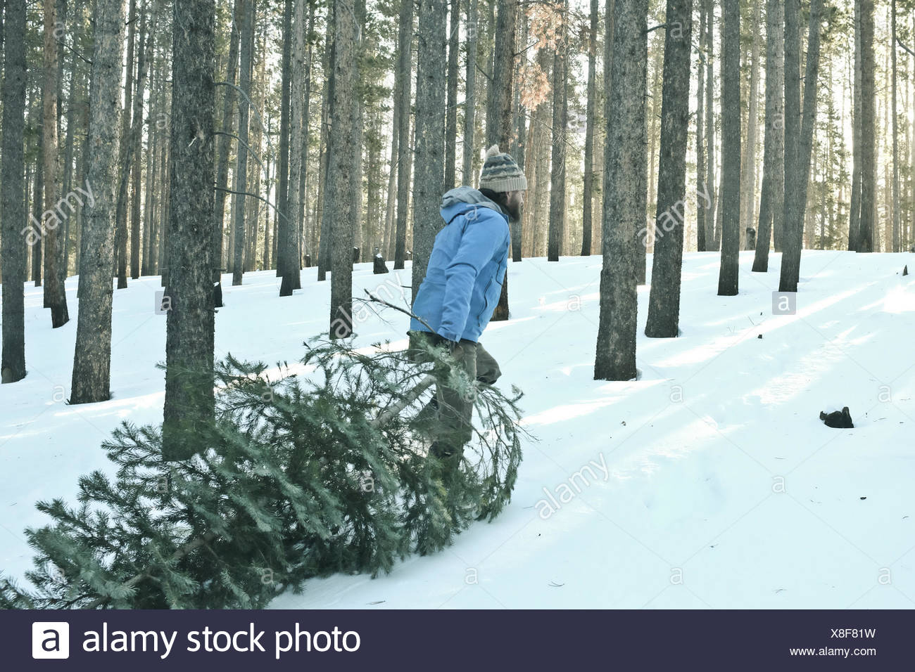 Man dragging christmas tree in snow - Stock Image