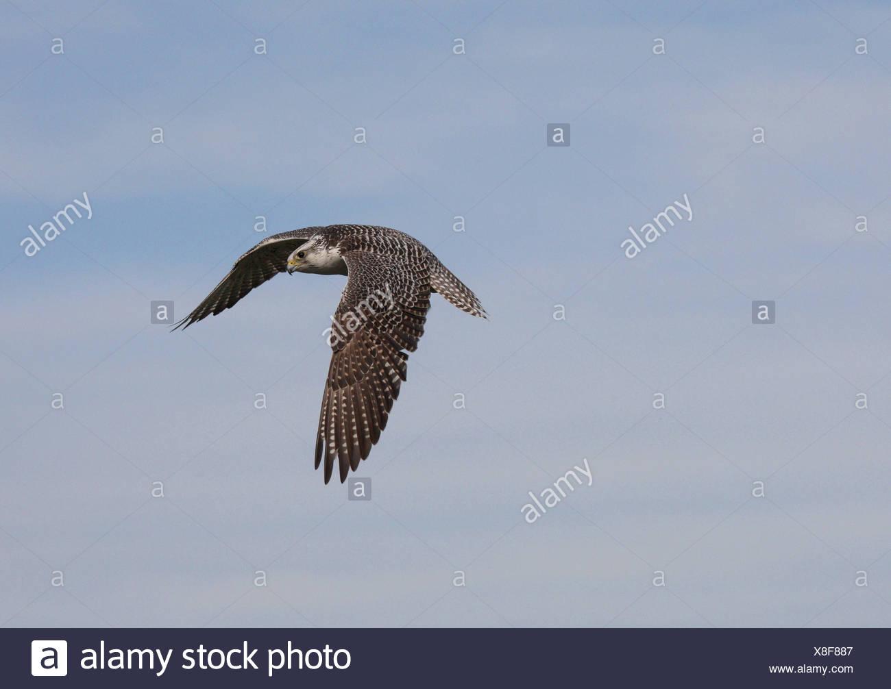 Saker falcon (Falco cherrug), flying - Stock Image